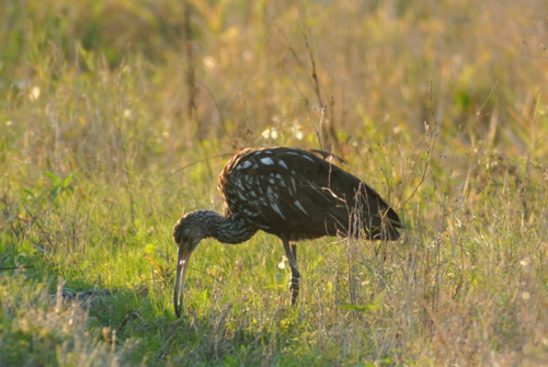 Limpkin backlit