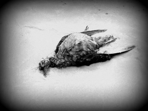 Too Good Kim Roberston dead bird