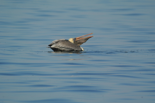 brown pelican gulp