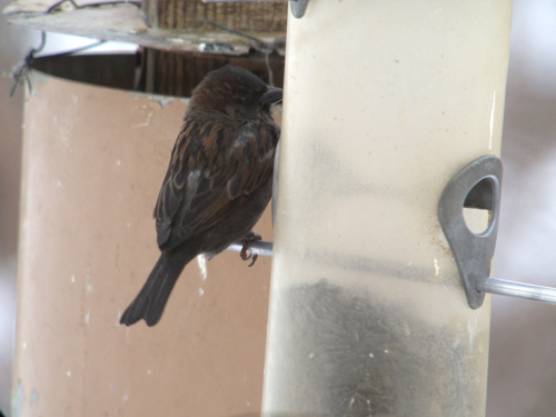 dark house sparrow