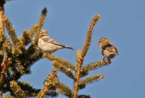 hoary redpoll and common