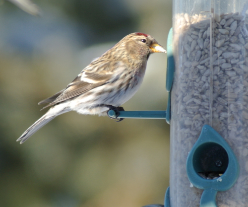 redpoll at feeder