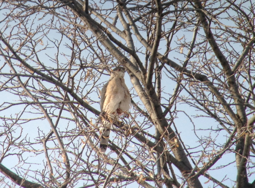 coopers hawk iphone