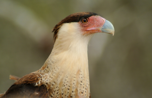 crested caracara profile
