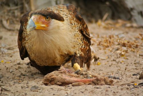 hungry caracara