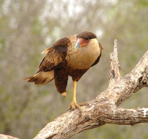 one legged caracara