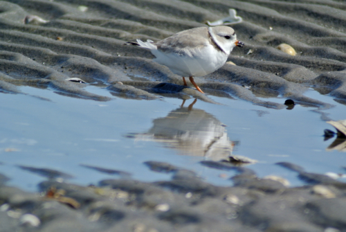 piping plover reflection