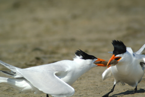 royal terns food pass