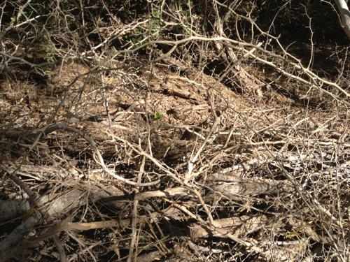see the nightjar?