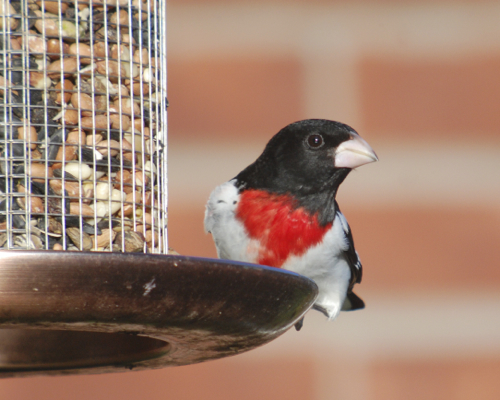 Digiscoped Grosbeak
