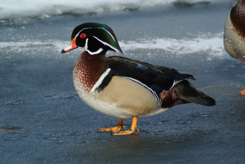 Digiscoped Wood Duck