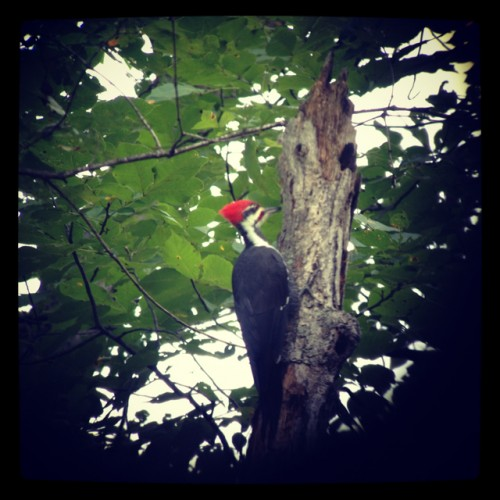 instagramed pileated
