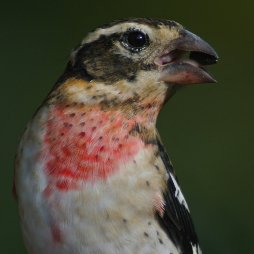 rose breasted grosbeak immy