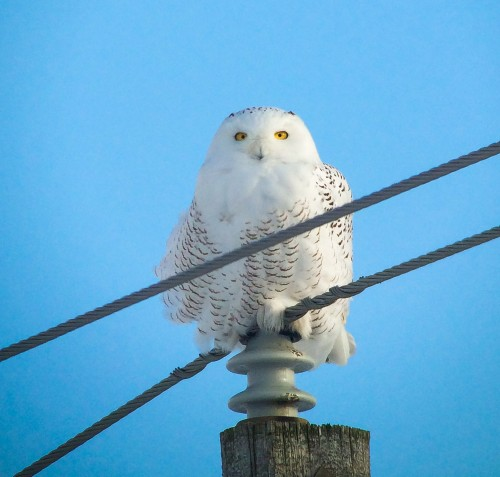 snowy owl iphone male (1 of 1)