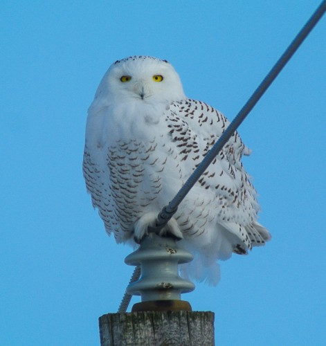 snowy owl male (1 of 1)