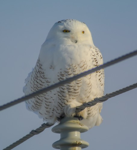 snowy owl v1 (1 of 1)