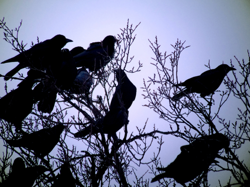 crows silhouette