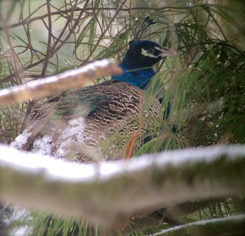peacock ohio