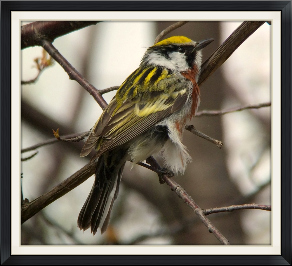Chestnut-sided warbler digiscoped with an iPhone at Tawas Point.