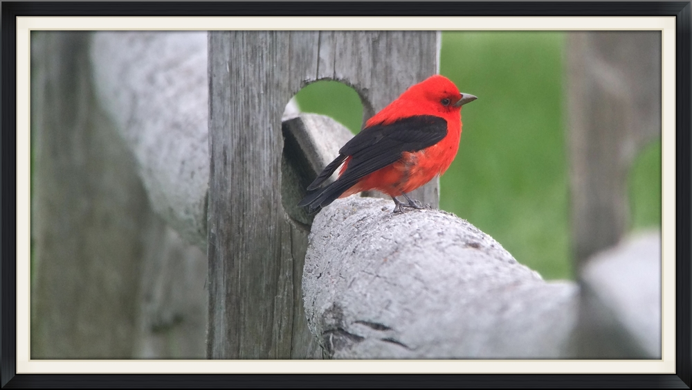 One of many scarlet tanagers outside the festival hotel digiscoped with an iPhone.