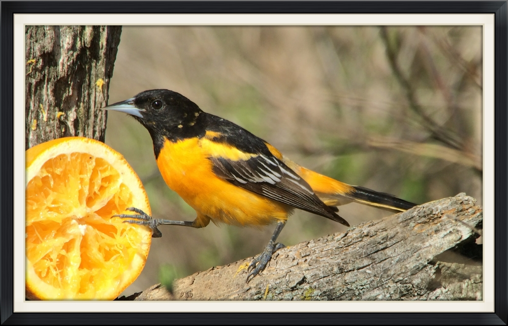 Baltimore oriole digiscoped with an iPhone