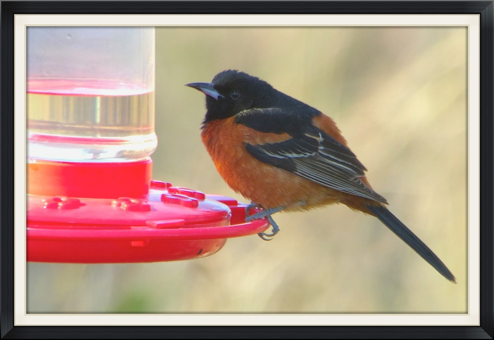 Orchard oriole digiscoped with an iPhone while carbo loading on some hummingbird nectar.