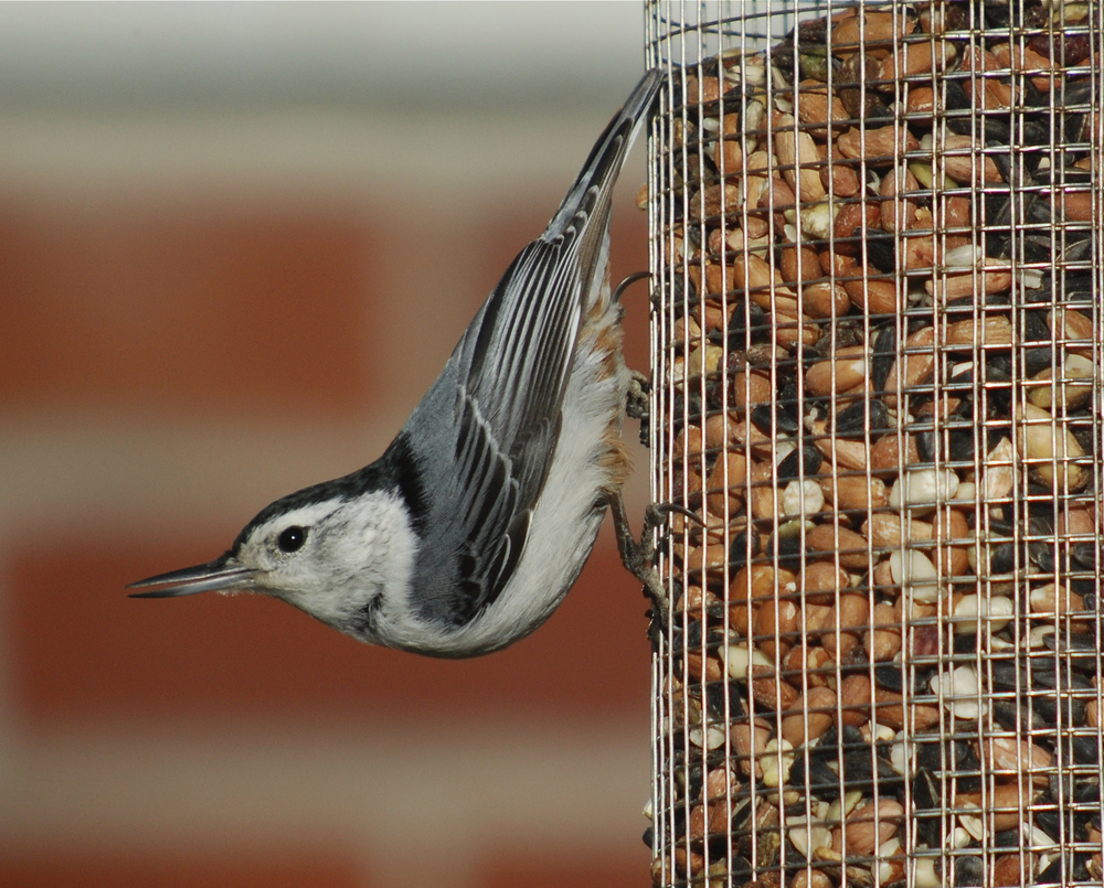 Nuthatch white.jpg