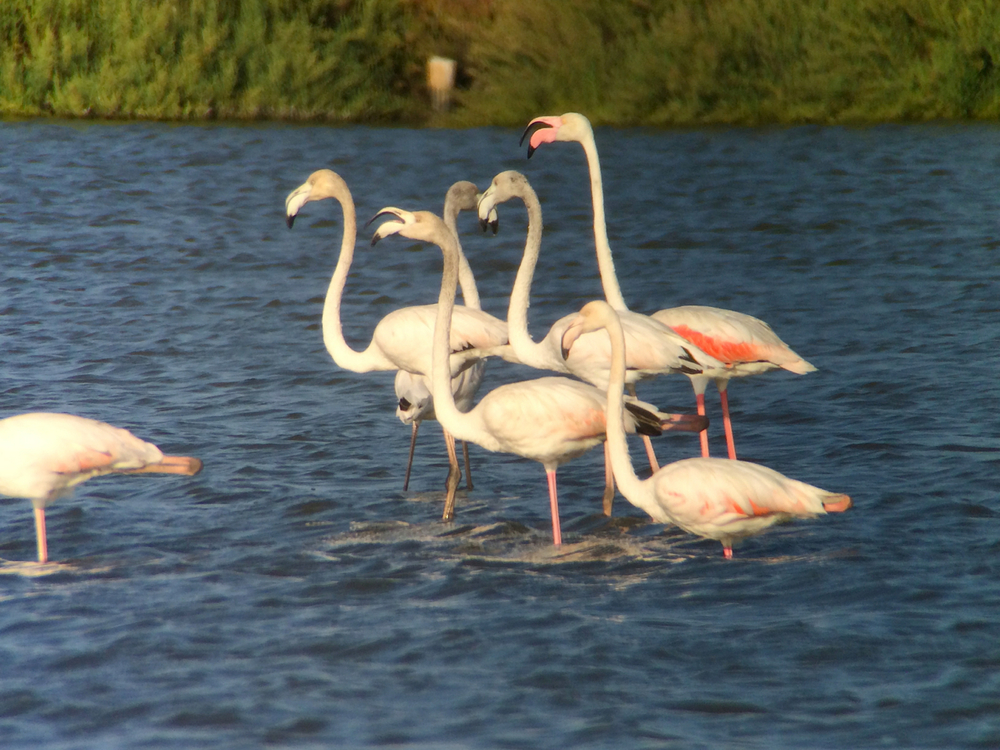 Flamingos seen on one of our bird excursions. We did see some fly over our bed and breakfast theQuintadaPraiadasFontes inAlcochete