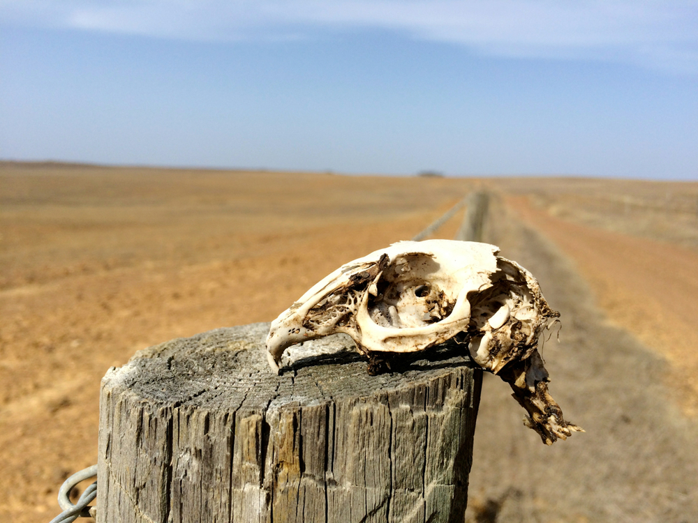 The autumnal countryside in southeastern Portugal can look rather bleak. This was a rabbit skull found along a fence line. The back of the skull had a bit of a triangular cut into the skull cavity. I can't help but wonder if an imperial eagle or buzzard are the cause of its demise.