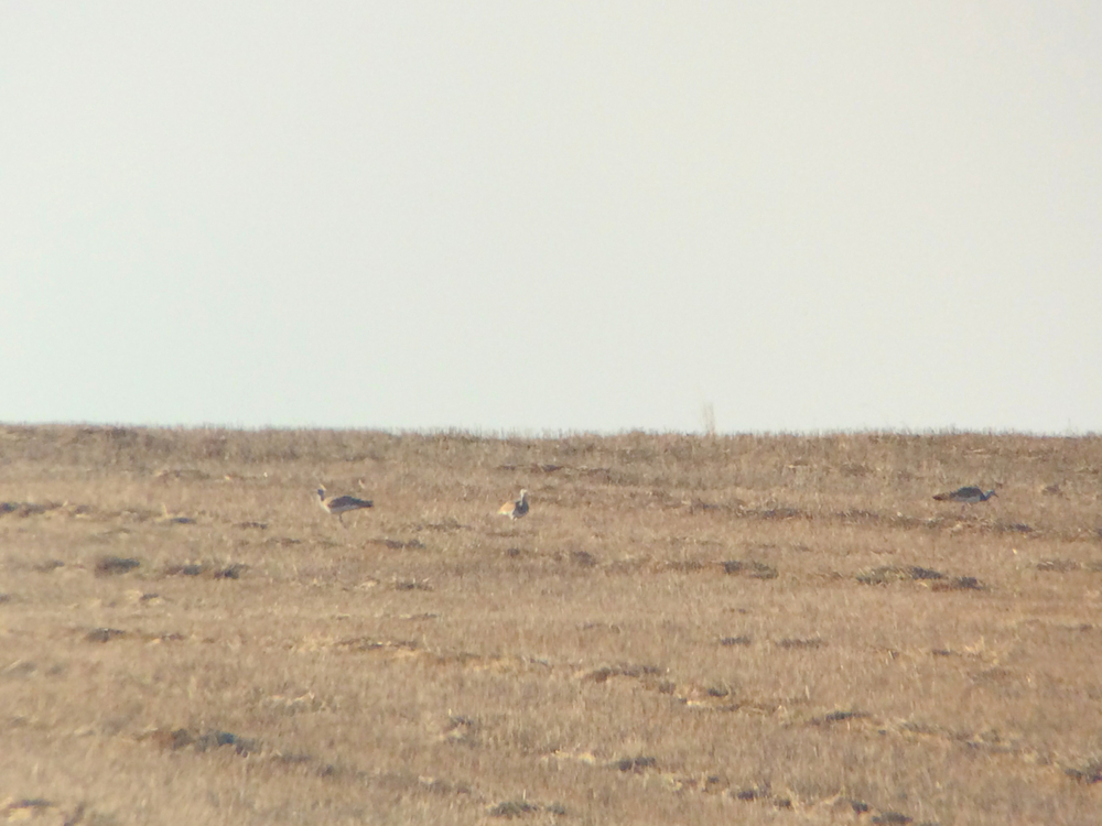 """Here are my lifer great bustards...very, very distant even digiscoped with my Nikon V1. This is what I would call, """"Yeah, life, but better view desired."""""""