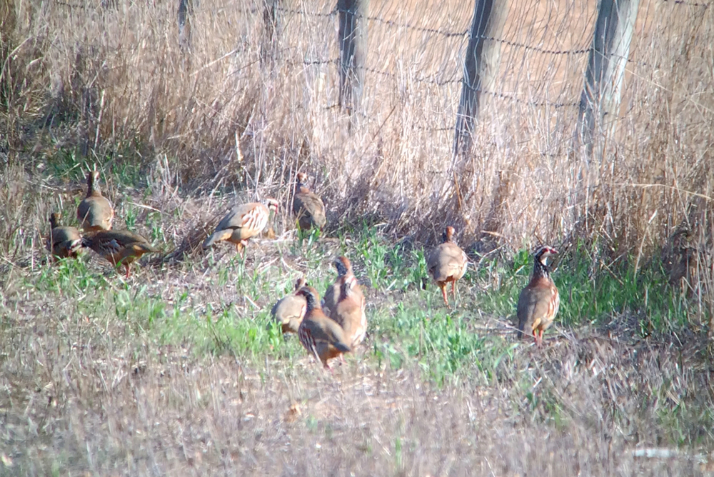 Those aren't chukars, those are red-legged partridge and not from a  game farm, just running around wild.