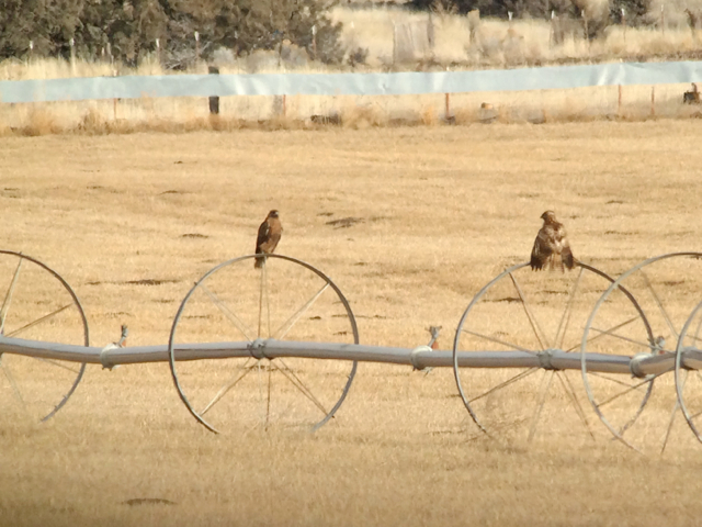 Western red-tailed hawks trying to dry out after some rain.