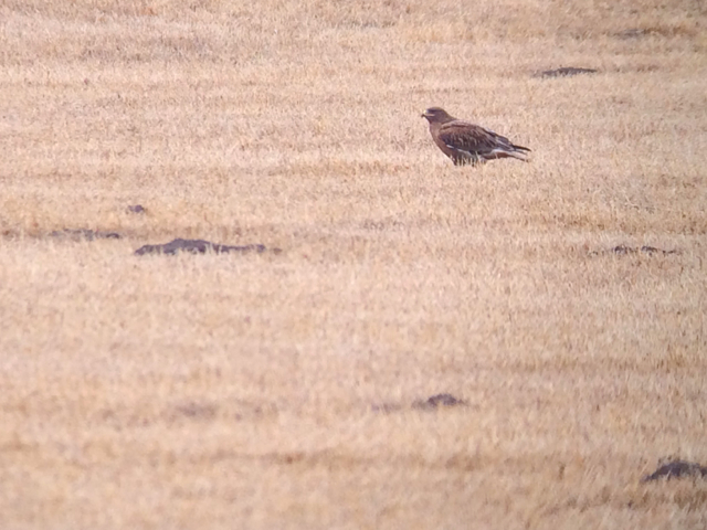 A bonus for me: a dark morph ferruginous hawk.