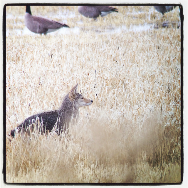 A very wet coyote moving amongst the waterfowl.