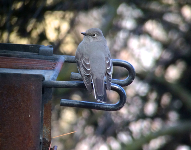 Townsend's solitaire.