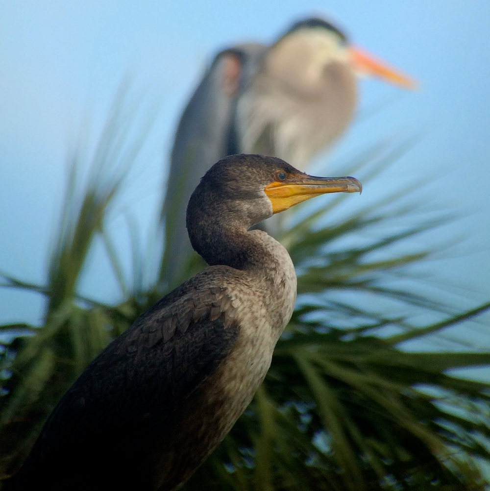 A double-crested cormorant with a chill photobombing great blue heron behind it. I was eavesdropping and listening to Tara Tanaka give photography tips while I took this. She has inspired me to find more art in my digiscoping.