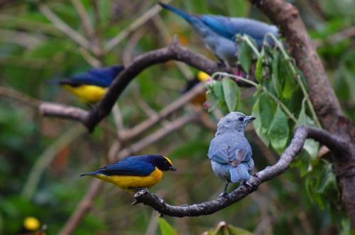 Broad Billed Heron Broad-billed Euphonias And