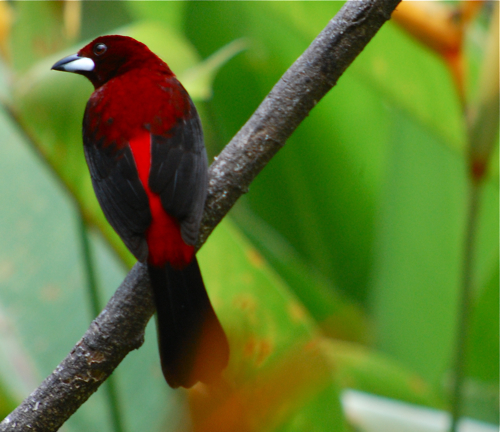 Crimson-backed tanager taken from the porch of Canopy Lodge in Panama--that is a bird worth traveling for.