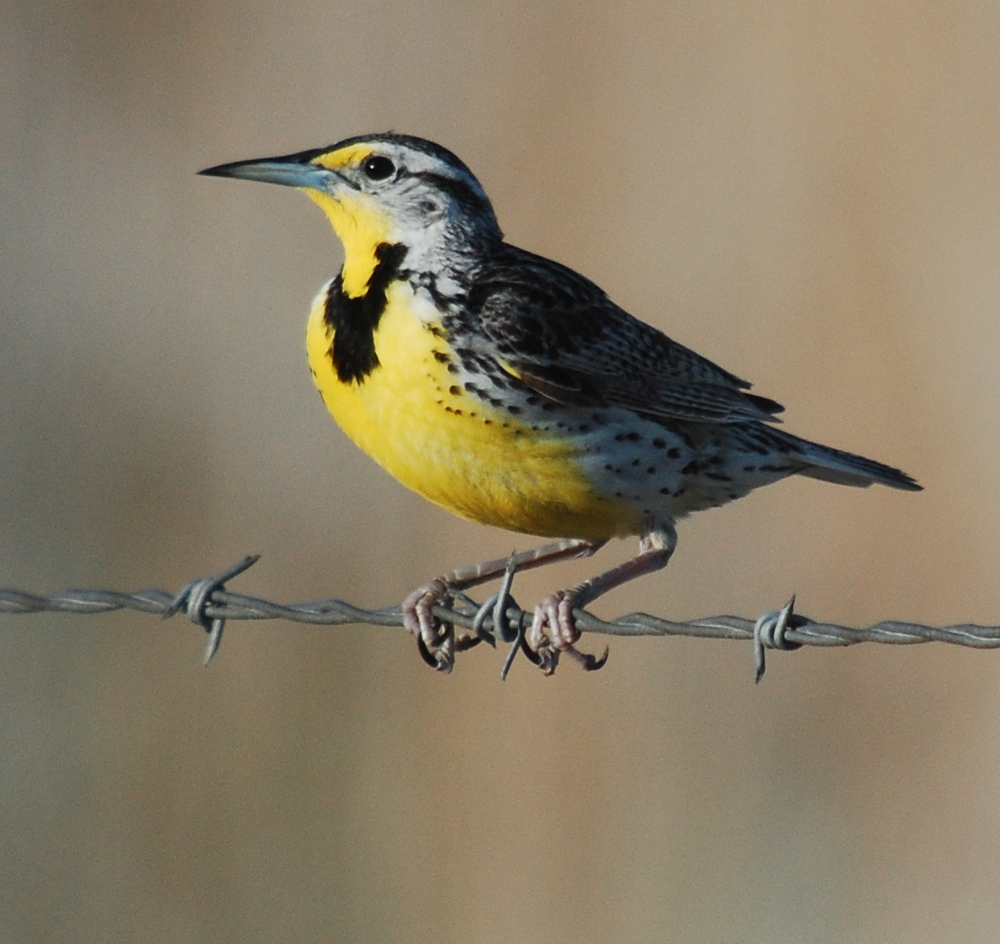 "Learning to separate flight calls of western and eastern meadowlarks was a cool revelation.  Westerns make a ""chup"" call and easterns make ""bink"" type call."