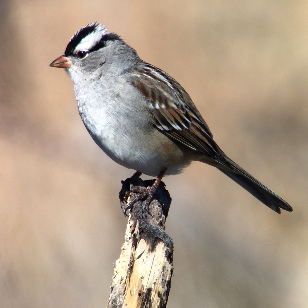 White-crowned sparrow digiscoped with the camera app that comes with the iPhone 5s and Swarovski ATX 65mm scope.