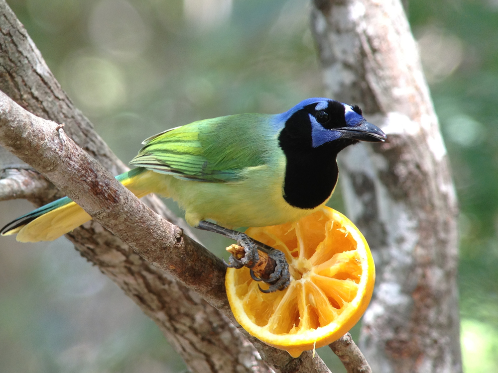 A Rio Grande Valley specialty and all around fabulous bird--the green jay!