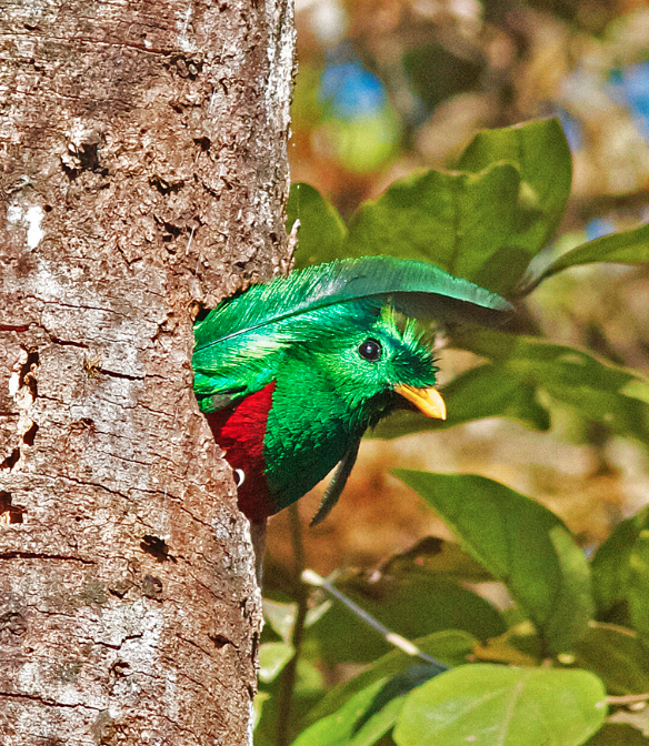 Resplendent quetzal photo by By Joseph C Boone on Wikimedia Commons.