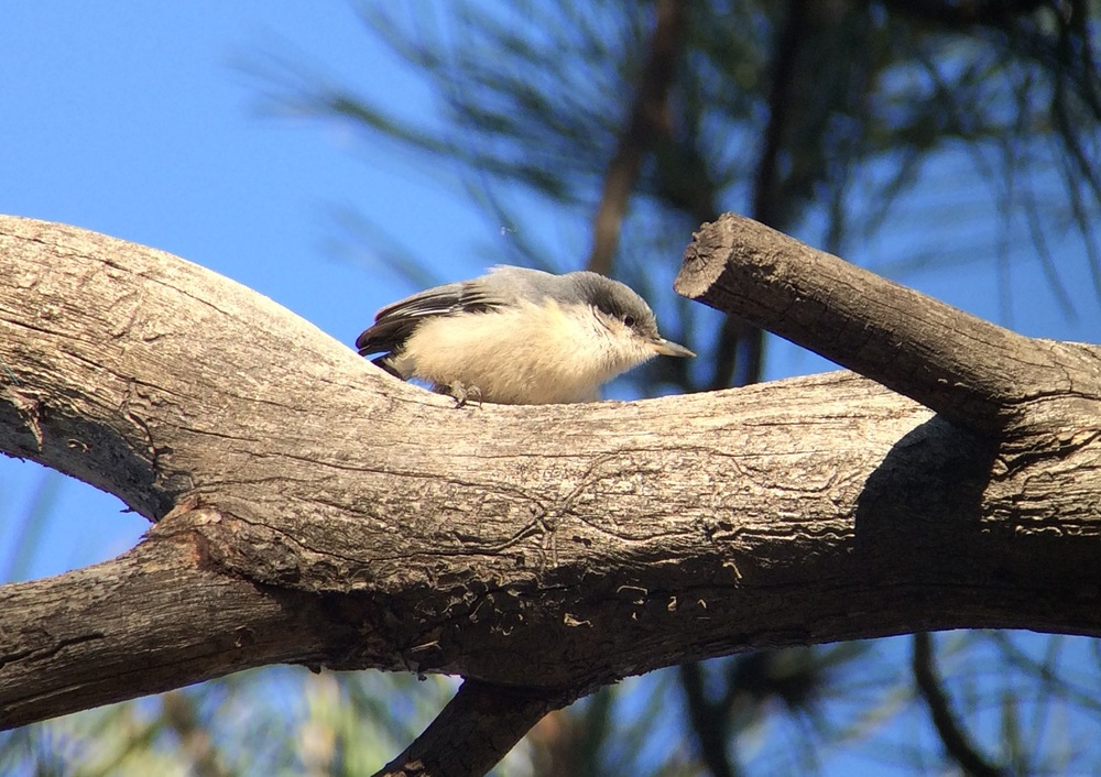 One of the dozens of pygmy nuthatches that surrounded my room at the Grand Canyon.