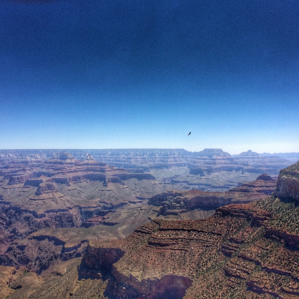The Grand Canyon with a bird soaring over! No, it's not a condor, it's a turkey vulture.
