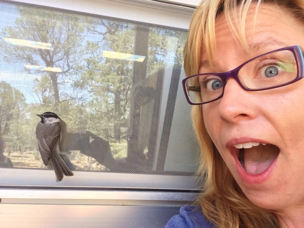 This was a young mountain chickadee that was trying to glean insects with its family from the overhang and screens around our building. Being young and naive it let me grab a quick selfie before it flew away.