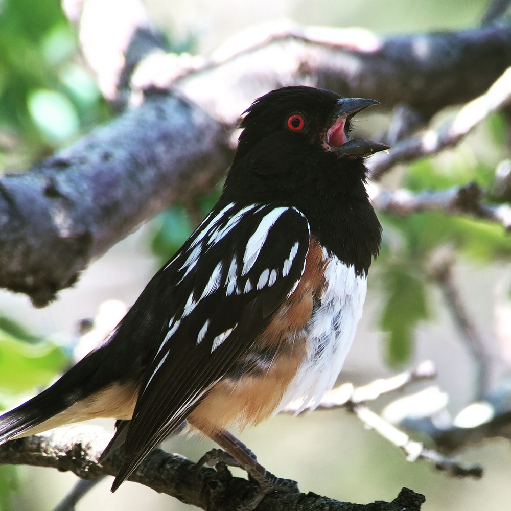 Spotted towhee singing around Bright Angel trailhead.