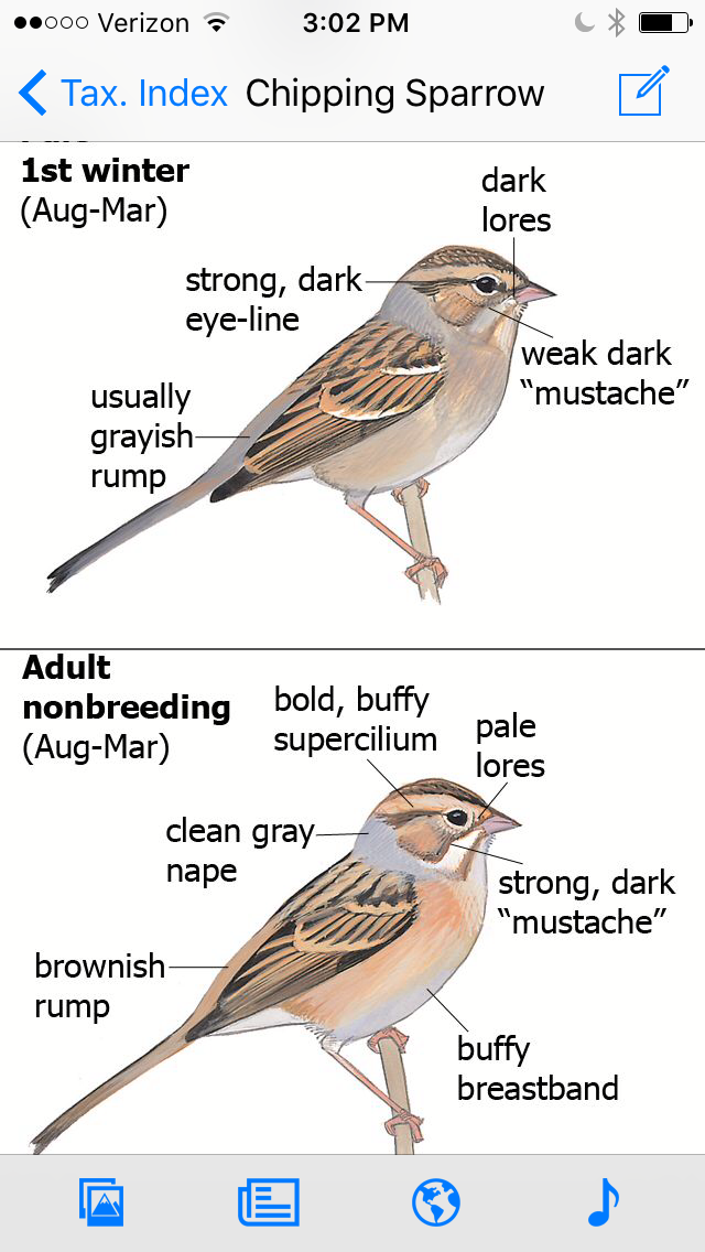 First winter chipping sparrow is on top and non breeding clay-colored sparrow is on the bottom--they're practically twins! Mercifully, they are way easier to separate in summer.