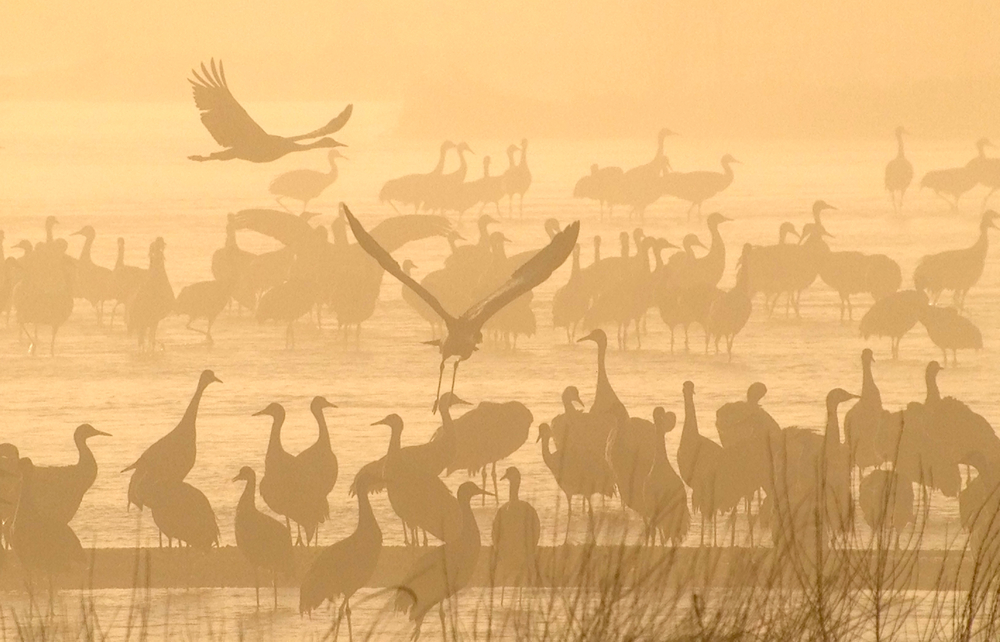 Cranes at dawn in Kearney, Nebraska.