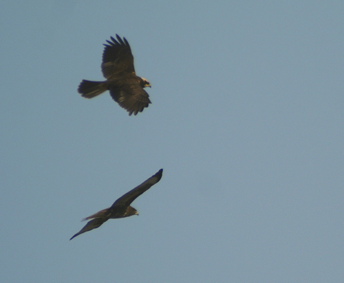 Marsh harrier and common buzzard soaring over our heads.