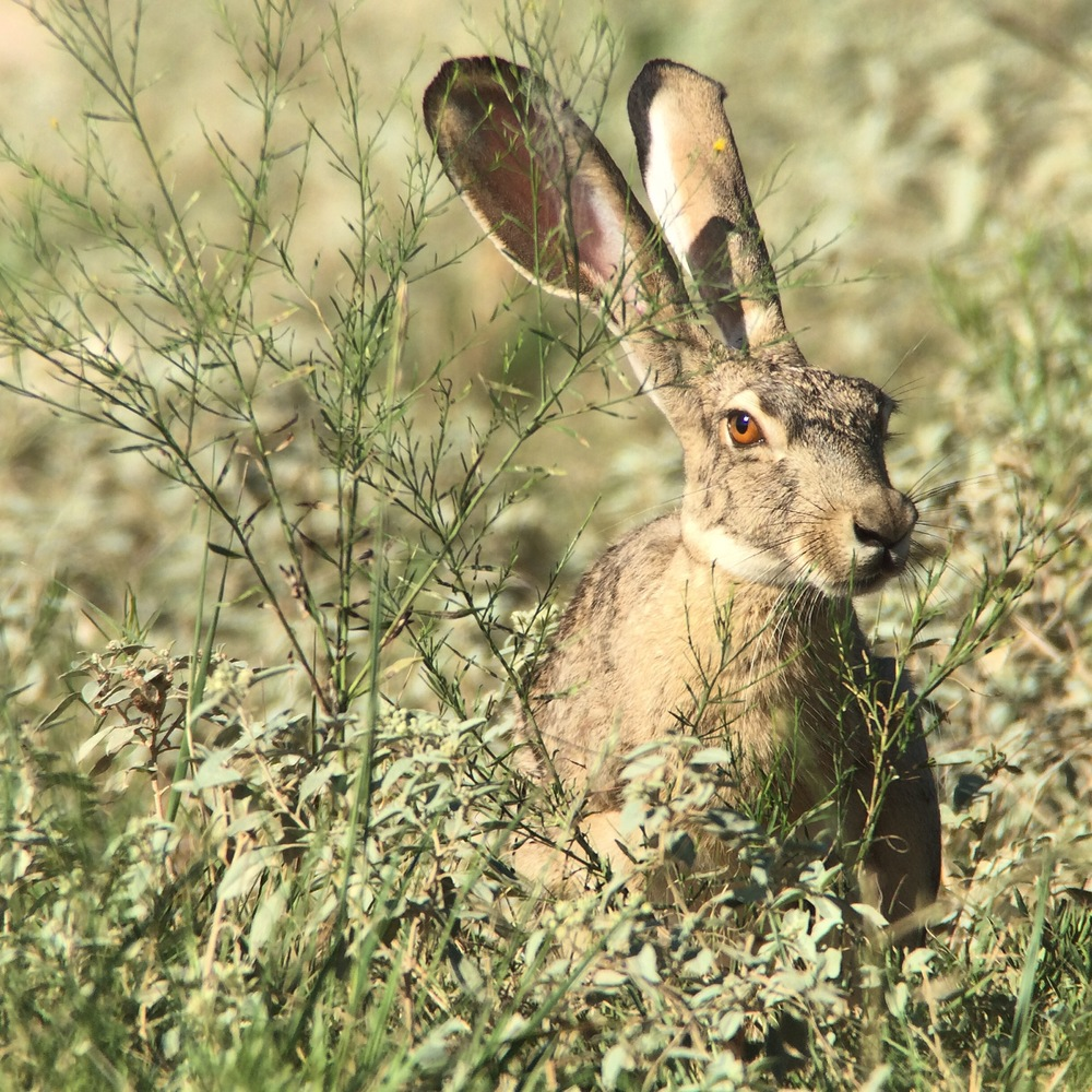 Jackrabbit sizing me up on one of my surveys.